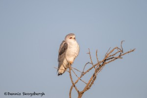 4838 Black-shouldered Kite (Elanus caeruleus), Tanzania