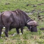 4840 Cape Buffalo, Ngorongoro Crater, Tanzania