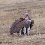 4841 Lappet-faced Vultures (Torgos tracheliotus), Tanzania