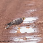 4842 Lanner Falcon (Falco biarmicus), Ngorongoro Crater, Tanzania