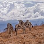 4843 Zebras at Ngorongoro Crater, Tanzania