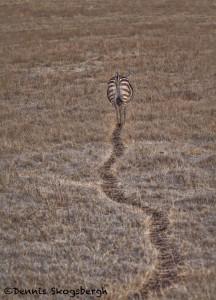 4844 Zebra, Ngorongoro Crater, Tanzania