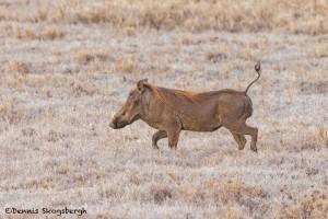 4846 Wart Hog, Ngorongoro Crater, Tanzania