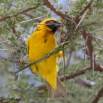 4850 Male Speke's Weaver (Ploceus spekei) Nest Building, Serengeti, Tanzania