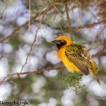 4851 Speke's Weaver (Ploceus spekei), Serengeti, Tanzania
