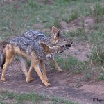 4852 Jackals Playing with a Ball of Dung, Serengeti, Tanzania