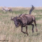 4855 Wildebeest on the Move, Serengeti, Tanzania
