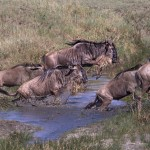 4856 Small-scale Wildebeest Crossing, Serengeti, Tanzania
