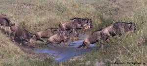 4856 Small-scale Wildebeest Crossing, Serengeti, Tanzania