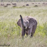 4857 Young African Elephant, Serengeti, Tanzania