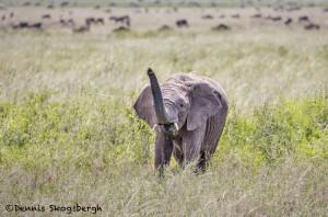 4857 Young African Elephant, Serengeti, Tanzania