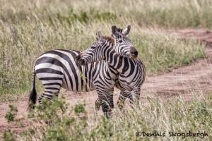 4858 Zebras, Seremgeti, Tanzania