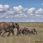 4860 African Elephants, Serengeti, Tanzania