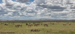4861 Grazing Herds, Serengeti, Tanzania