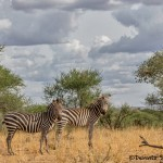 4863 Zebras, Serengeti, Tanzania