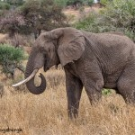 4866 African Elephant, Tanzania