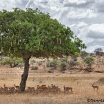 4867 Herd of Impala, Tarangire National Park, Tanzania