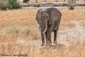 4868 African Elephant, Tanzania