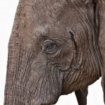 4870 African Elephant, Tanzania