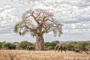 4871 African Elephants, Tarangire National Park, Tanzania