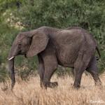 4872 African Elephant, Tanzania