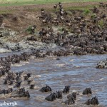 4878 Wildebeest Migration, Traversing the Mara River from Kenya into Tanzania