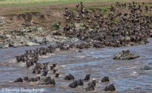 4878 Wildebeest Migration, Traversing the Mara River from Kenya into Tanzania