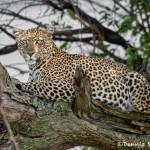 4879 African Leopard, Tanzania