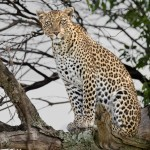 4880 African Leopard, Tanzania