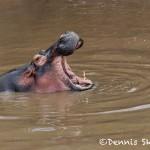 4881 Hippo (Hippopotamus amphibius), Tanzania