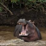 4882 Hippo (Hippopotamus amphibius), Tanzania