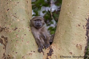 4886 Young Olive Baboon (Papio anubis), Tanzania