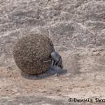 4887 Dung Beetle Rolling Dung Ball, Serengeti, Tanzania