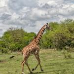 4888 Giraffe (Giraffa camelopardalis), Tanzania