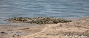 4889 Nile Crocodile, Tanzania