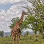 4890 Giraffe (Giraffa camelopardalis), Tanzania