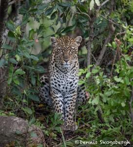 4893 African Leopard, North East Serengeti, Tanzania