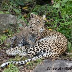 4894 African Leopard with Cub, North East Serengeti, Tanzania