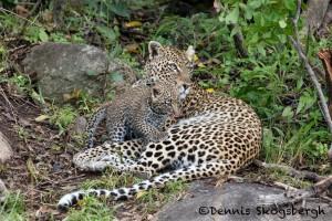 4894 African Leopard with Cub, North East Serengeti, Tanzania