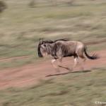 4898 Wildebeest, Serengeti, Tanzania