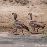 4899 Egyptian Geese (Alopochen aegyptiacus), Tanzania