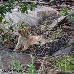 4901 Lion Cub, NE Serengeti, Tanzania