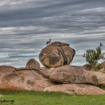 4902 Klipspringer (Oreotragus oreotragus), NE Serengeti, Tanzania