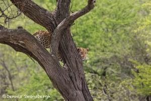 4906 African Leopard, Serengeti, Tanzania