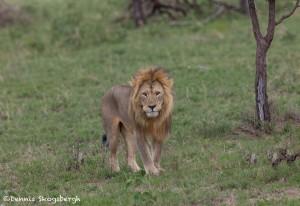 4907 Male Lion, Tanzania