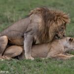 4908 Lion Pair, Serengeti, Tanzania