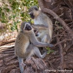4909 Vervet Monkeys, Grooming Behavior, Tanzania
