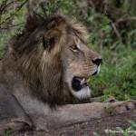 4910 Male Lion, Serengeti, Tanzania
