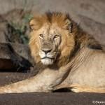 4912 Male Lion, Serengeti, Tanzania