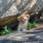 4914 Lion Cub, Serengeti, Tanzania